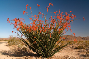 ocotillo-plant