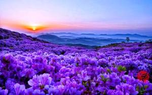 field_of_wild_flowers_nature_purple_hd-wallpaper-1603338