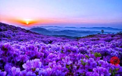 field_of_wild_flowers_nature_purple_hd-wallpaper-1603338