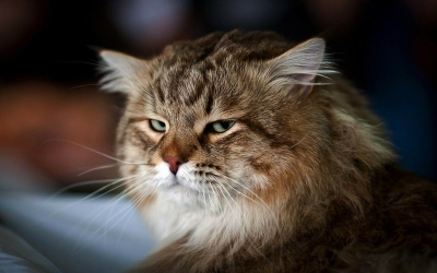 eyes-cats-animals-funny-persian-cat-mad-cat-1920x1200-wallpaper_www_wall321_com_63