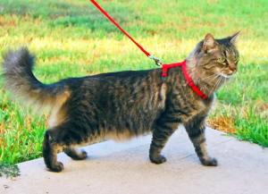 tabby-cat-on-leash1