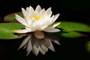 gallery-white-water-lily